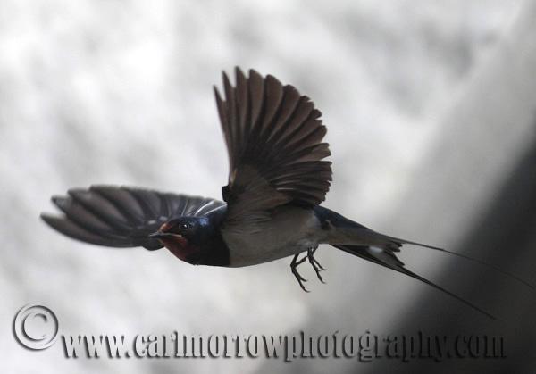 Barn Swallow in mid flight
