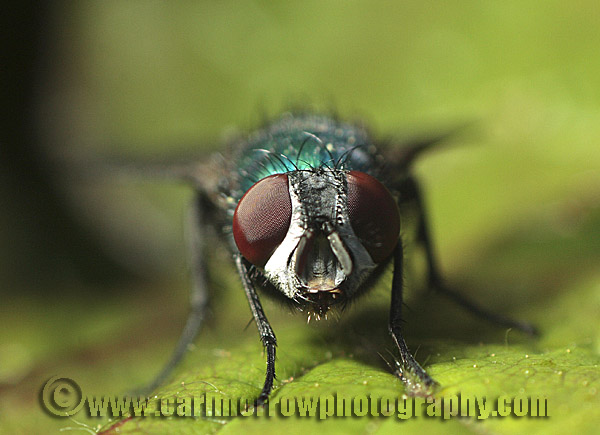 Compound Eyes of the Greenbottle Fly