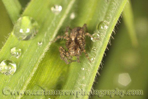 Small Wolf Spider ( Lycosa pullata)  Autumn 2011