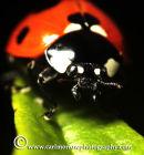 Seven Spot Ladybird (Autumn 2011)