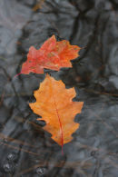 Autumnal red oak Leaves on water.
