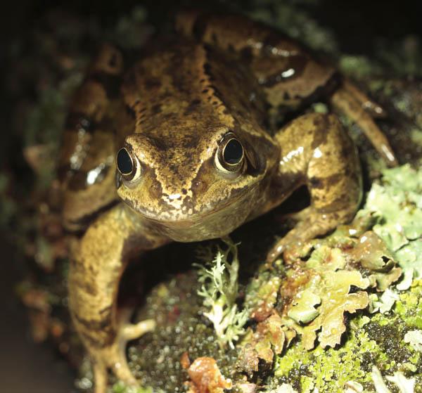 European Frog