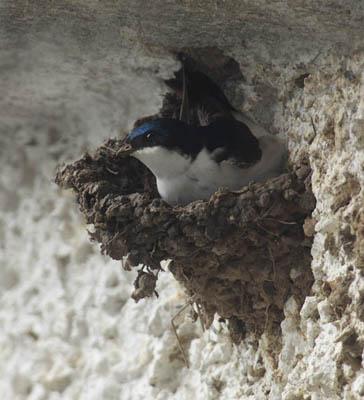 House Martin on the nest.