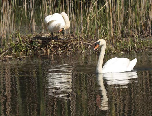 Mute Swans.