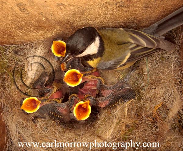 Great Tit feeding chicks.