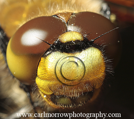 Compound Eyes of the Four Spotted Chaser Dragonfly