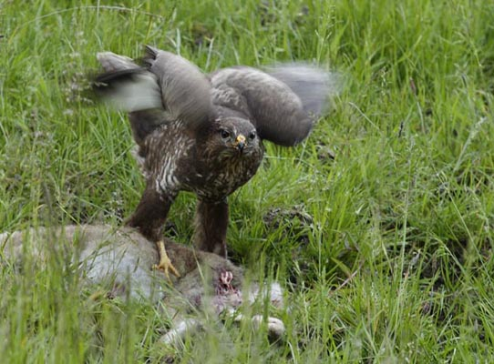 Buzzard feeding on a kill.