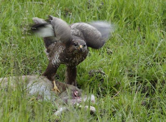 Buzzard feeding on a kill.