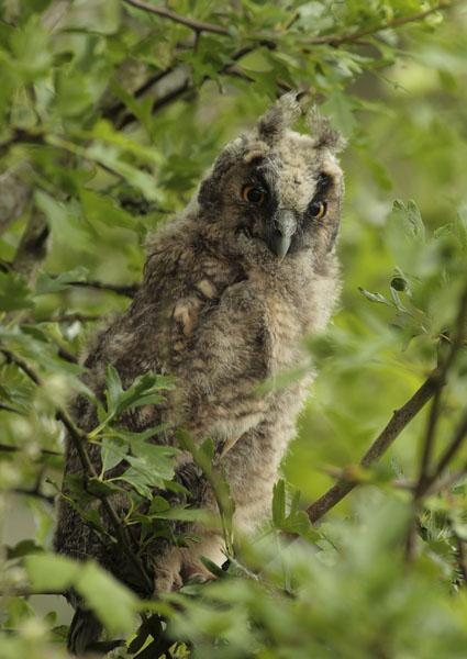 long eared owl chck