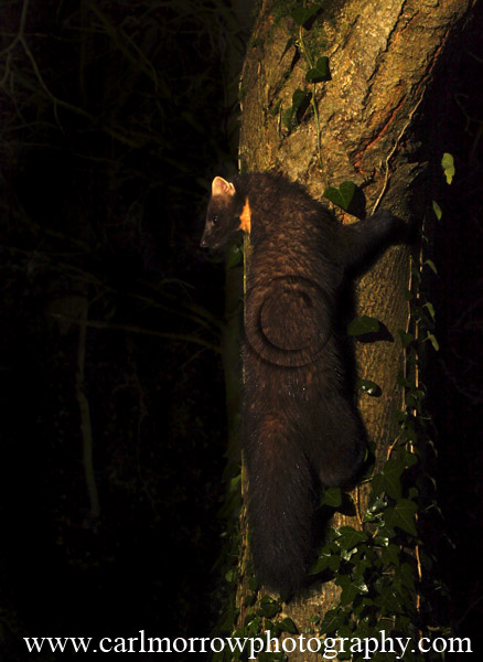 Pine Marten climbing up a Lime tree.