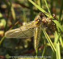 Four Spotted Chaser Dragonfly emerging from Nymph skin