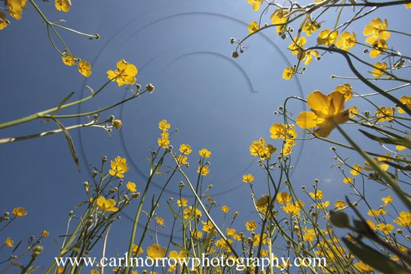 Meadow Buttercups.