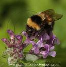 Bumblebee nectar feeding.
