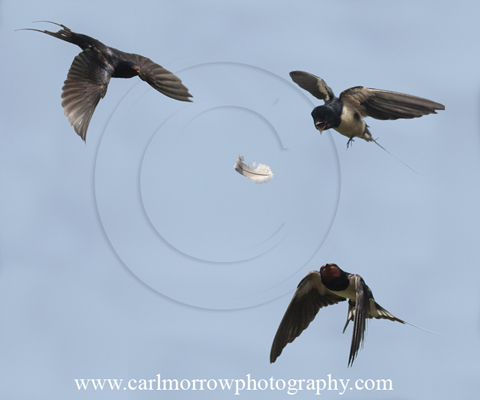 Swallows compete for a feather caught on the breeze.