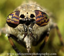 Compound Eyes of a Horse Fly