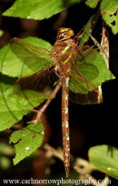 Brown Hawker Dragonfly.