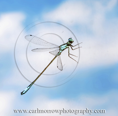 Male Blue-Tailed Damselfly in mid-flight.