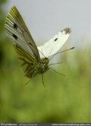 Green Veined White Butterfly in flight