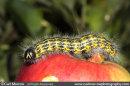 Buff Tip Moth Caterpillar