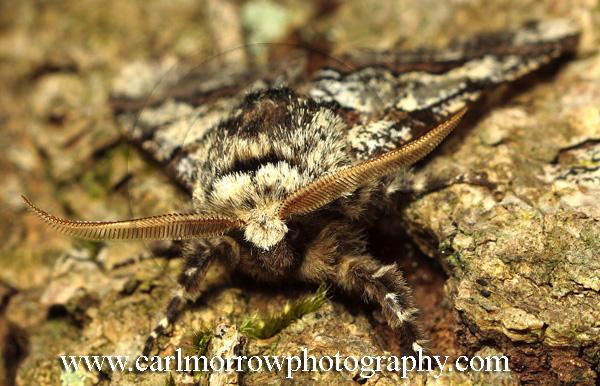 Oak Beauty Moth.