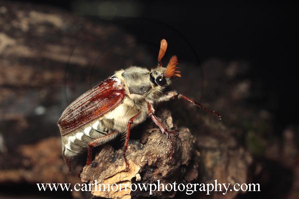 Cockchafer Beetle or May Bug