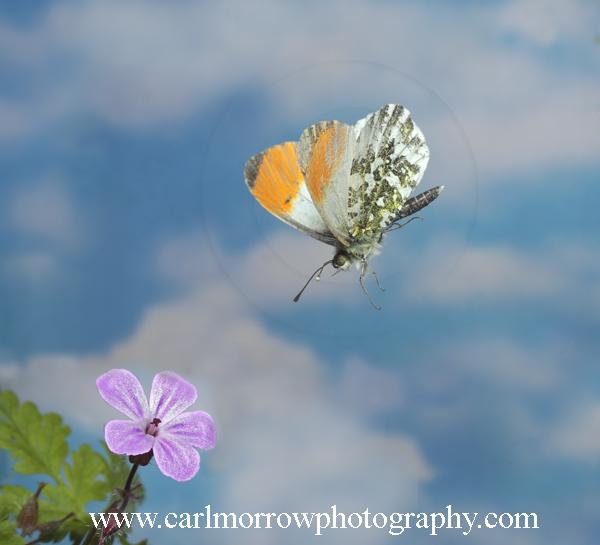 Orange Tip Butterfly in flight
