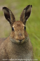 Irish Hare