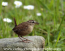Wren foraging for insects.