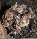 Brown Long Eared Bat roost