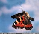Small Tortoiseshell Butterfly in flight.