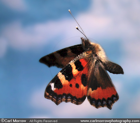 Small Tortoiseshell Butterfly in flight