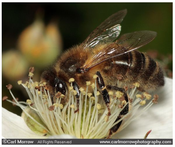 Honey Bee collecting nectar from bramble