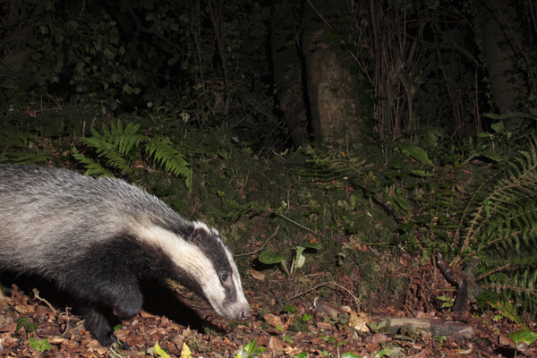 Badger foraging in woodland.