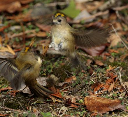 Goldcrests fighting