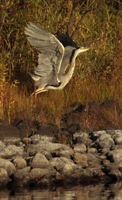 Grey Heron Taking flight.