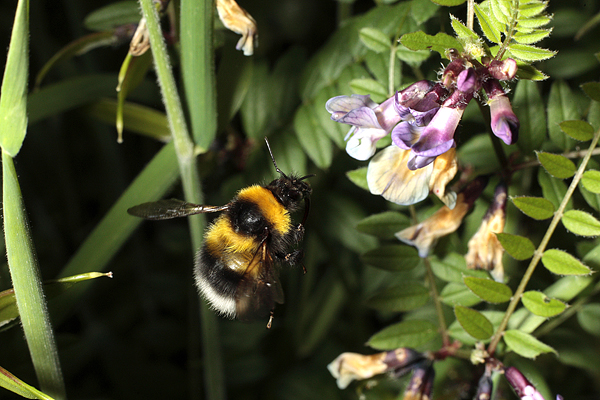 Bumblebee approaching a Vetch flower