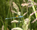 Azure Damselfly hunting midge flies.