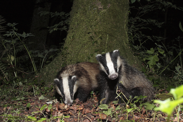 Badger mother and cub.