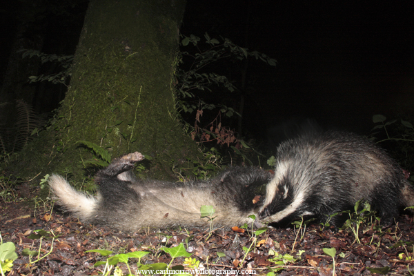Badgers play fighting.