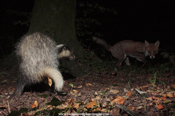 Badger and Red Fox