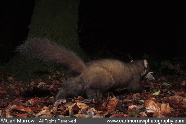 Pine Marten preying on  a rat.