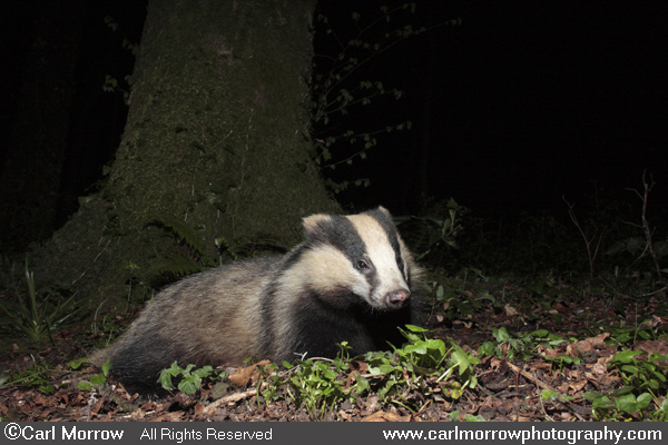 European Badger resting.