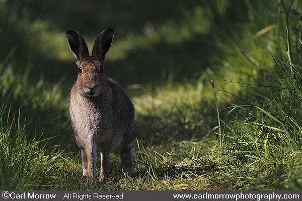 irsh hare