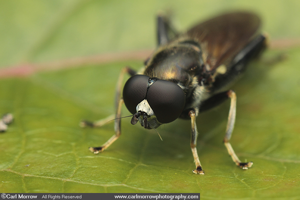 The compound eyes of a fly.