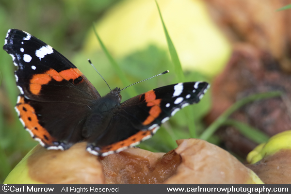 Red Admiral Butterfly on rotten windfall apples.