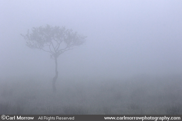 A lone tree in the fog at dawn