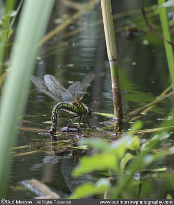 Hairy Dragonfly laying eggs in pond plants.