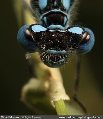 Azure Damselfly compound eyes