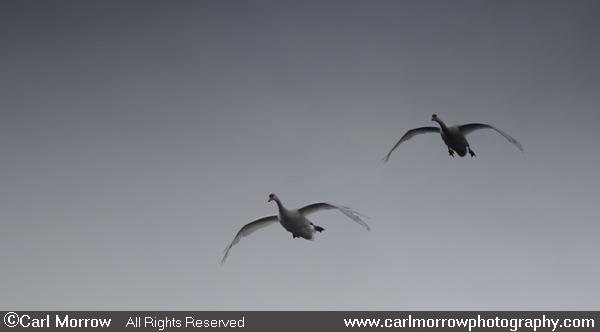 Mute Swans' approach flight