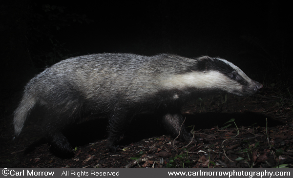 Badger on the move.